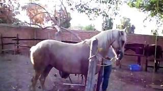 caballo bailador palomino  en venta navojoa sonora