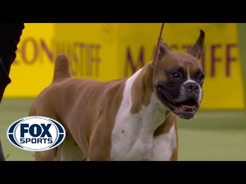 'Wilma' the boxer wins the Working Group at 2020 Westminster Dog Show | FOX SPORTS