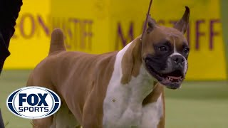 Another name has been added to the list of finalists for best in show. 'wilma' boxer won working group at 2020 westminster kennel club dog show.#...