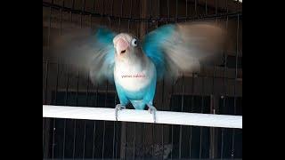 Gambar cover sekali pancinga saja....99,99% ampuh memancing lovebird fighter, ngekek panjang