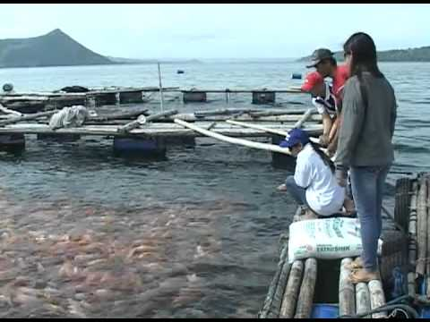 Red Tilapia Culture In Taal Lake Part 2