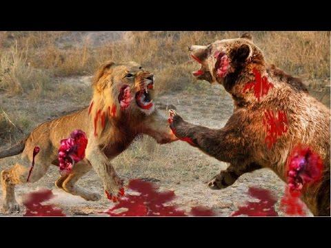 Best Mongoose Vs Cobra,Lion vs Buffalo Attacks - Most Amazing Wild Animal Attacks – Betty