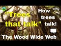 The WOOD WIDE WEB - how trees talk to each other! (Suzanne Simard) forest trees documentary