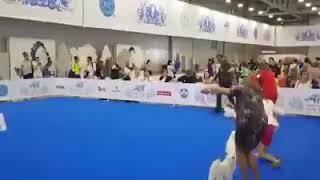 World Dog Show Moscow Maltese
