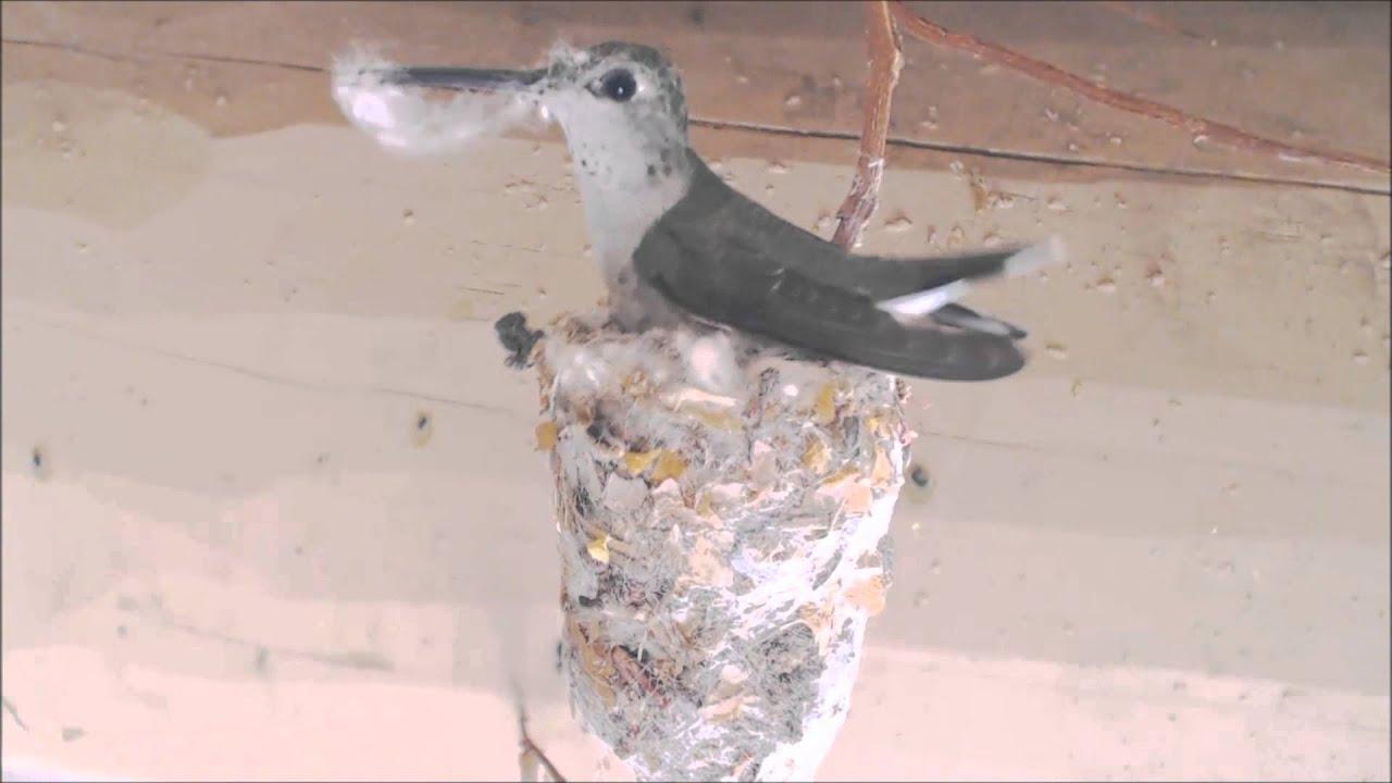 Hummingbird Building Nest Hummer Helper Nesting Material