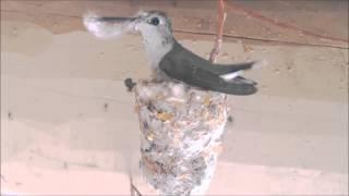 Hummingbird Building Nest (Hummer Helper Nesting Material SE7021)