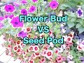 Download Petunia Care - Flower Bud or Seed Pod MP3 song and Music Video