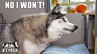EVERY Trick My HUSKY Knows in 3 Minutes! He Argues With Me!