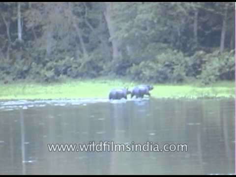 Major wildlife attractions of Kaziranga: Indian One-Horned Rhino