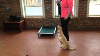 Stray Puppy, Week 1 Of Board And Train- Chicago Dog Training