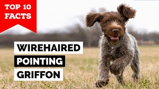 Wirehaired Pointing Griffon  Top 10 Facts