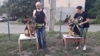Дрессировка щенка овчарки. Видео урок. Проблема - подбор с земли