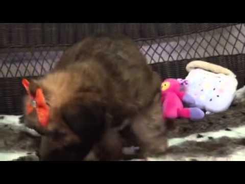 Teddy Bear, Wheaten puppy