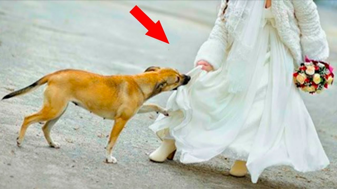 Download No one from the wedding party knew what she was hiding under her dress, but the dog sensed danger