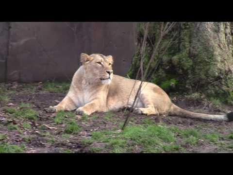 London Zoo Lions 2017