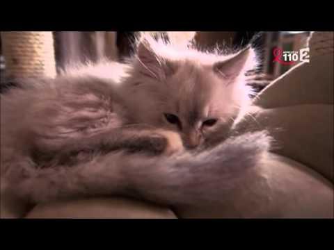 Reportage De France 2 Sur Les Chats Hypoallergéniques Avec L'Etoile Neva