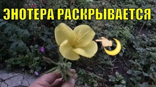 Энотера. Раскрытие цветка.