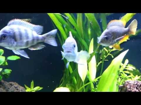 120g African Cichlid Planted Tank All Male Show Tank