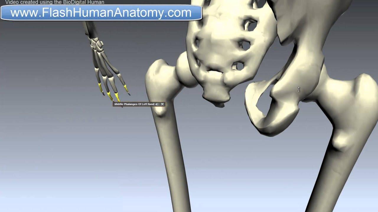Femur Anatomy - Thigh Bone - Lower Limb - YouTube