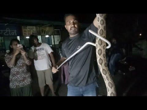 सावेडी रोड, अहमदनगर में मिला ये बडा घोणस साप | Rescue Russell's viper snake from Ahmednagar