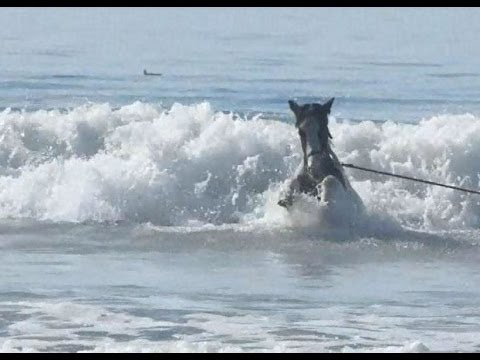Baby Gypsy Horse Goes Body Surfing At Pismo Beach Ca