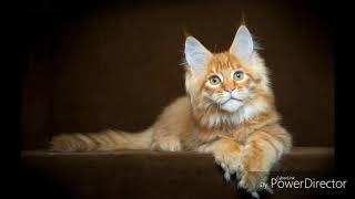 Все о породе кошек Мейн-кун/ интересные факты о мейн-кунах!