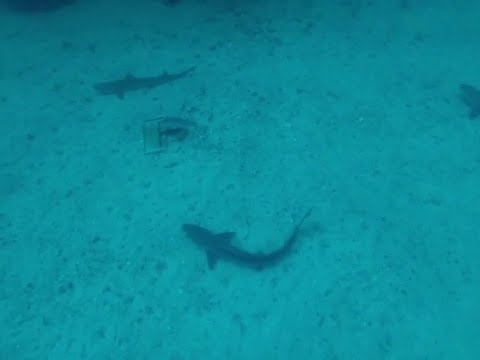 Tope Sharks In Gordo Banks (Galeorhinus Galeus)