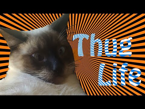 Thug Life Cat - My Cute Siamese Kitten Startled and Attacks Me - Funny!
