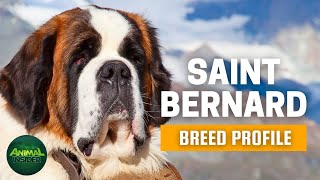Saint Bernard Dogs 101  A Giant Who Used to be a Rescuer at the Swiss Alps
