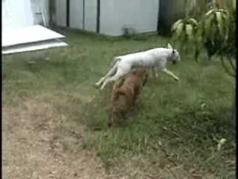 american bulldog! bullmastiff