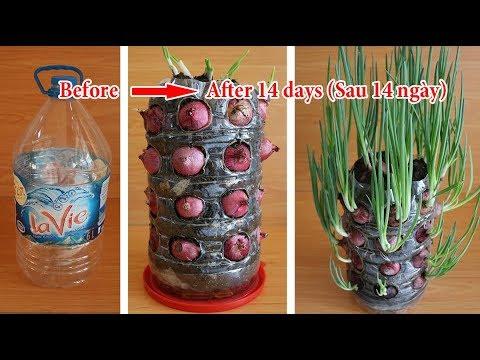 Trồng Hành Tây giờ đây không phải dễ mà là quá dễ | Growing Onions is not easy but it is too easy