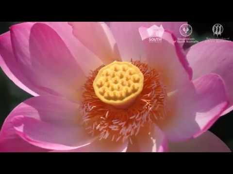 Sacred Lotus Flowers At Adelaide Botanic Garden