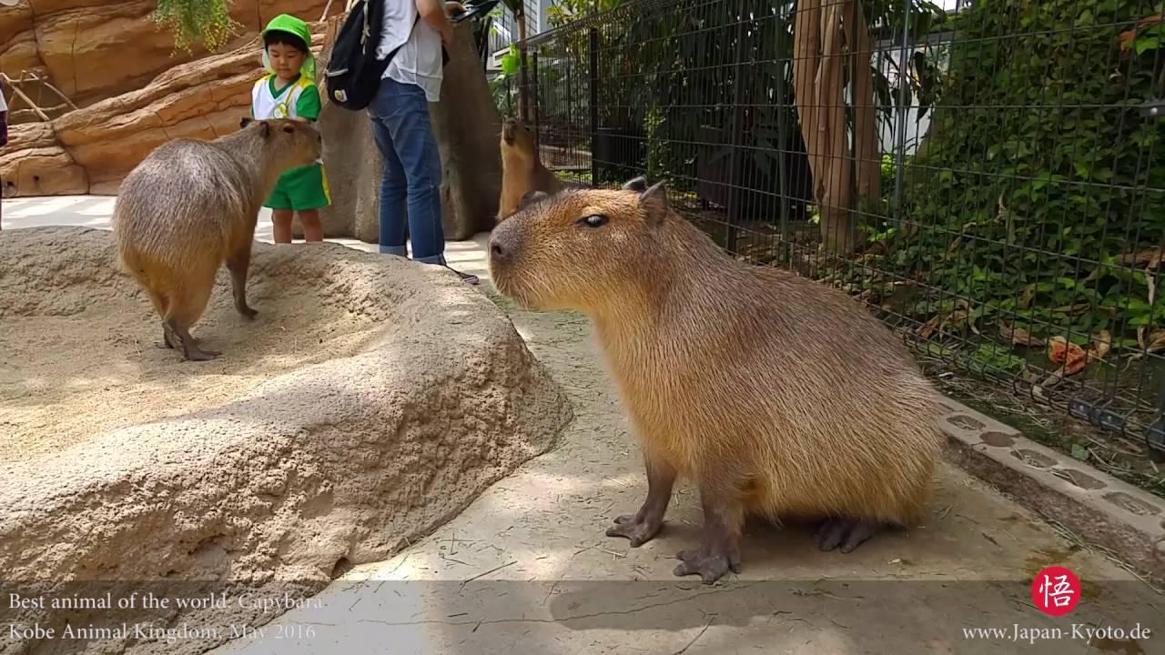 kobe animal