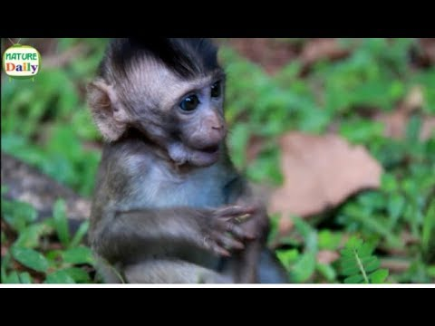 New pretty baby monkey life with mom monkey, Nature Daily ST 147