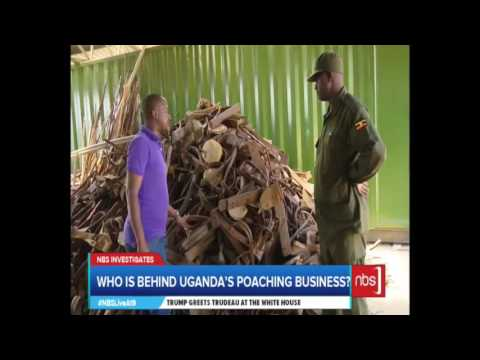 NBS Investigates: Who is Responsible for the Poaching Business in  Uganda?