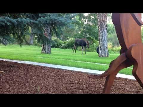 Moose Wrestles a Tire Swing in Spokane, Washington