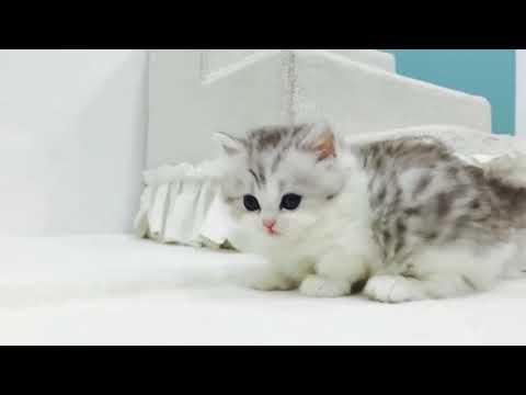 "Todey is Munchkin Kittens day😍😘 ""I love my India"" ""ilovemyindia"""
