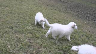Great Pyrenees Puppies Rodentáli Kennel