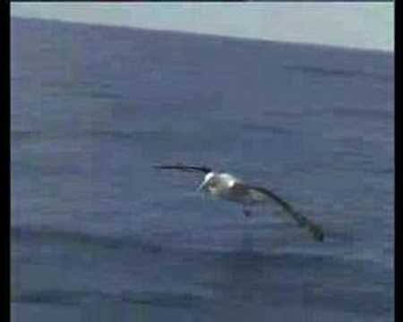 Albatross Encounter - The Biggest Wingspan in the World