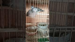 My Local dove Pet  Spotted Dove   Laparan Bros Recipes  #Shorts