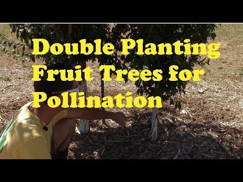 Double Planting Fruit Trees for Pollination