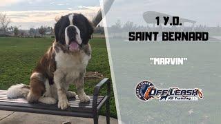 SAINT BERNARD / DOG TRAINING