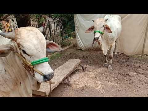 My Eid Cows 2019(5)