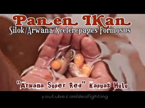 PANEN IKAN ARWANA SUPER RED KAPUAS HULU (Silok /Asian Arowana /Scleropages Formosus)