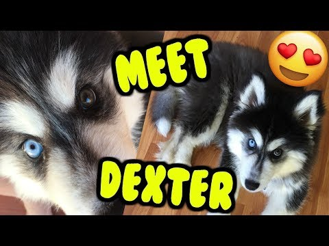 Meet My Puppy! 12 Week Old Siberian Husky Pup! Pet Vlog Plus Why I left Youtube!