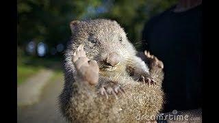 Wombat Legs [original song]