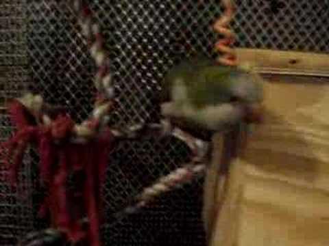 My Quaker Parrots