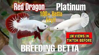 Successful Breeding Betta Fish  Part 1  Red Dragon X White Platinum   100 + betta fry