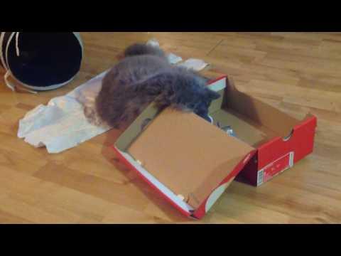 """Selkirk Rex cat, """"Regan"""". The Ping Pong Ball & A Shoebox. - Kimmaaay's Cat"""