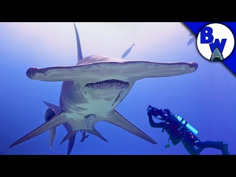 MASSIVE Hammerhead Shark Filmed in Bahamas!